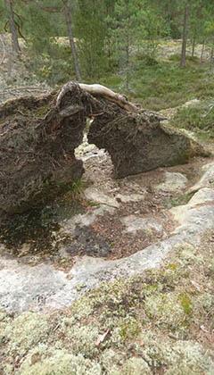 Puun juuret